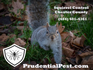 Squirrel Control Chester County