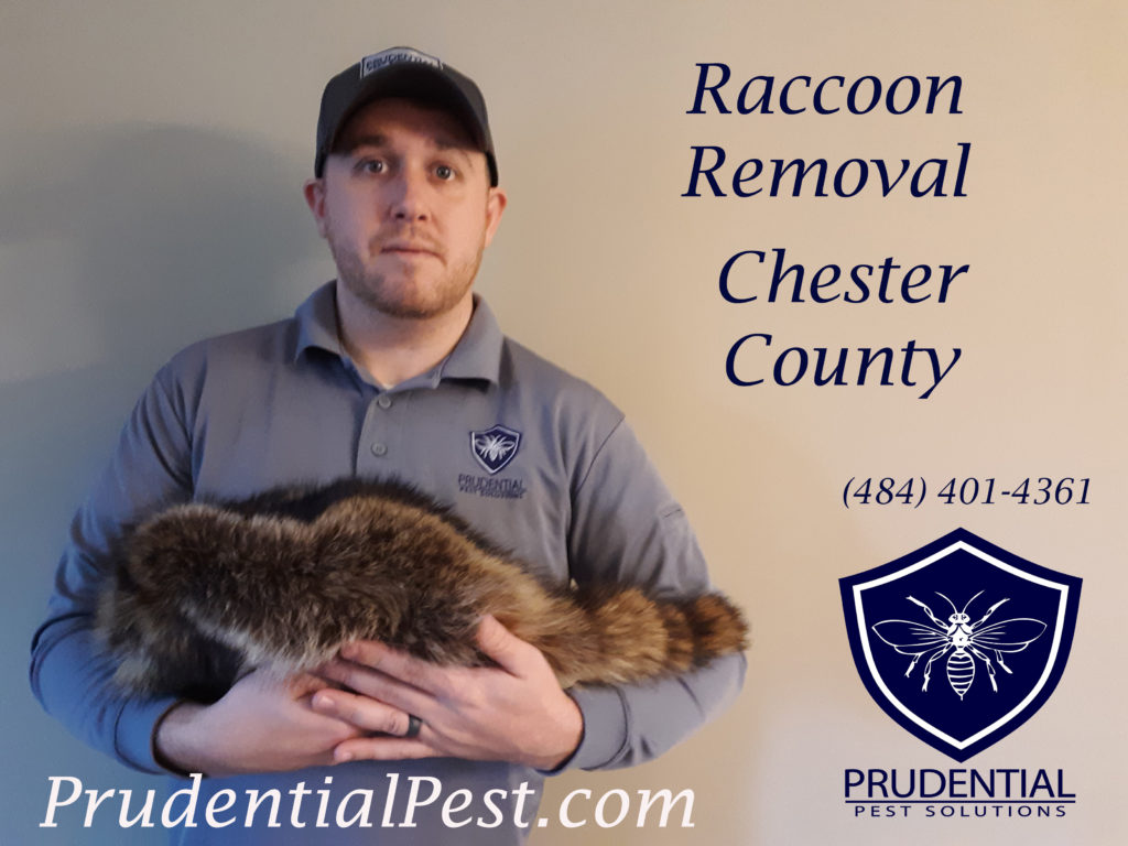 Raccoon Removal West Chester