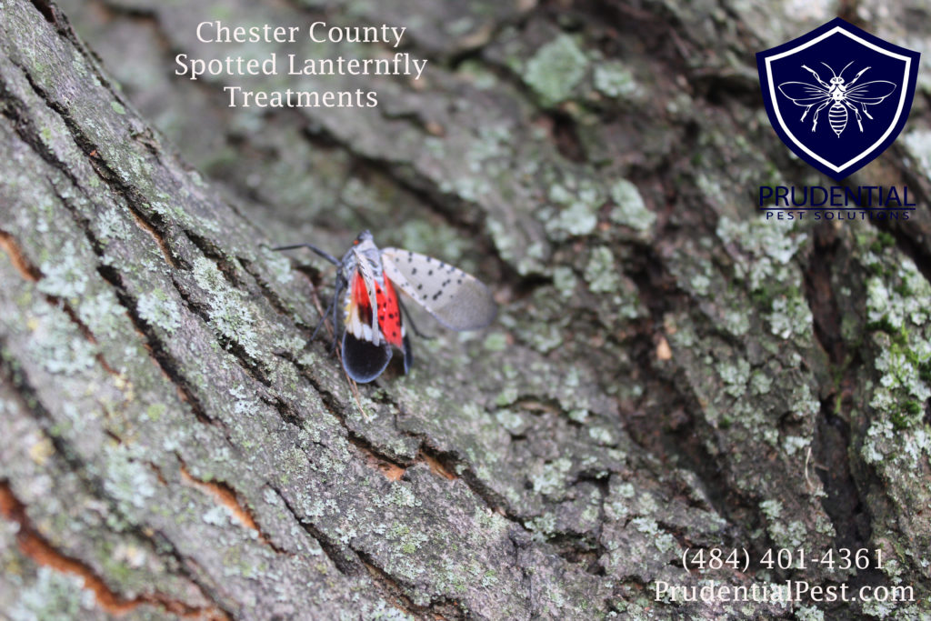 Spotted Lanternfly Treatments Chester County