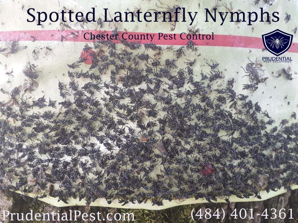 Spotted lanternfly treatments in the spring.  Tree banding for spotted lanternfly. Affordable lanternfly treatments