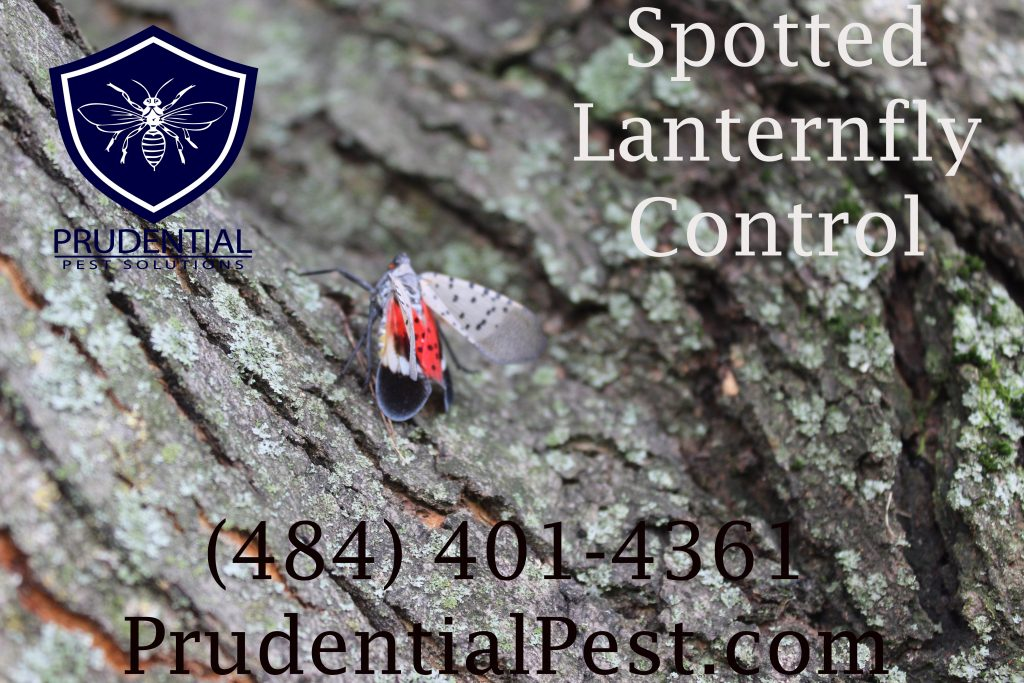 spotted lanternfly control