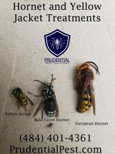 hornet and wasp removal experts