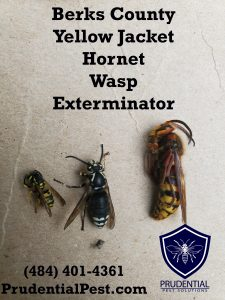 Berks County Yellow Jacket Exterminator