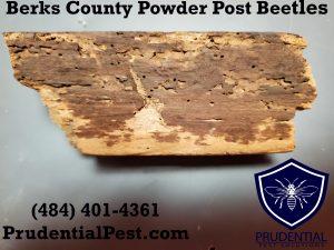 Berks County Powder Post Beetle