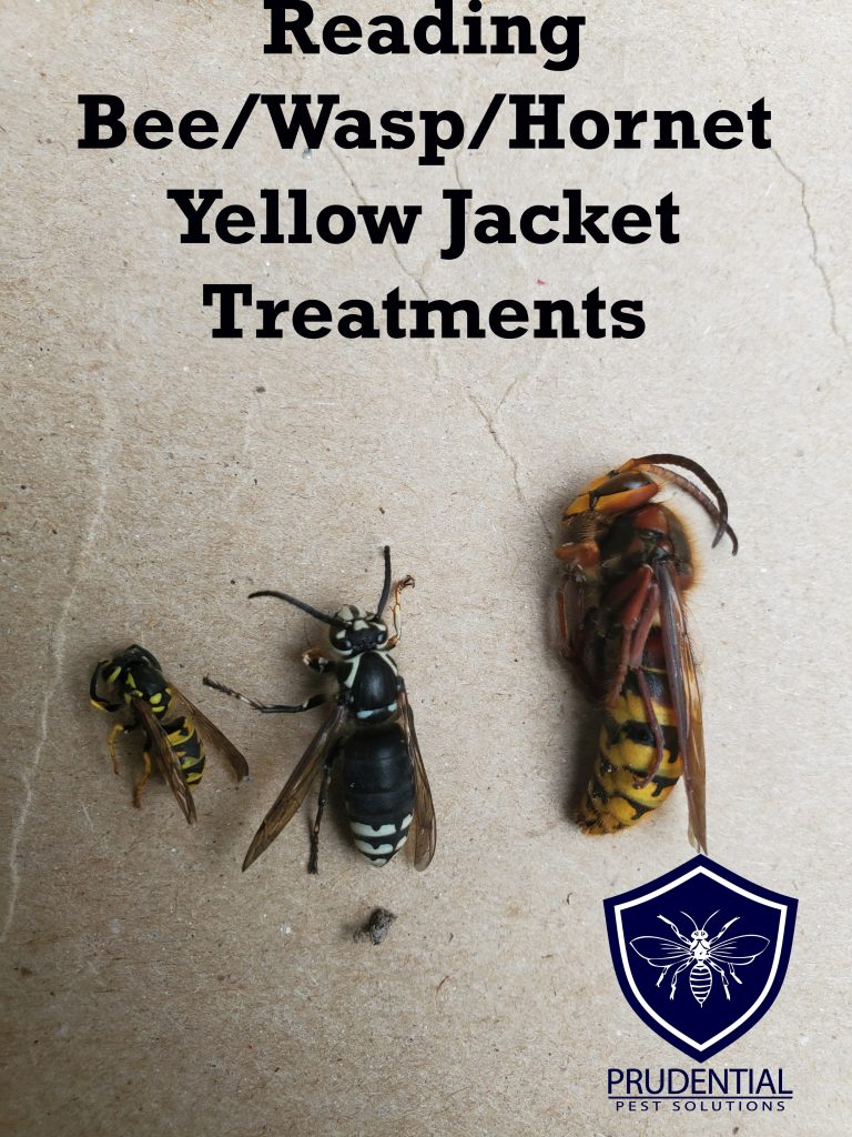 reading wasp yellow jacket hornet bee treatments