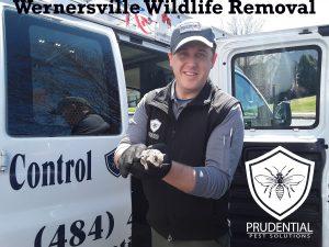 wernersville wildlife removal