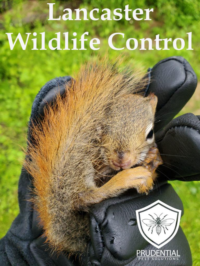Lancaster Wildlife Control