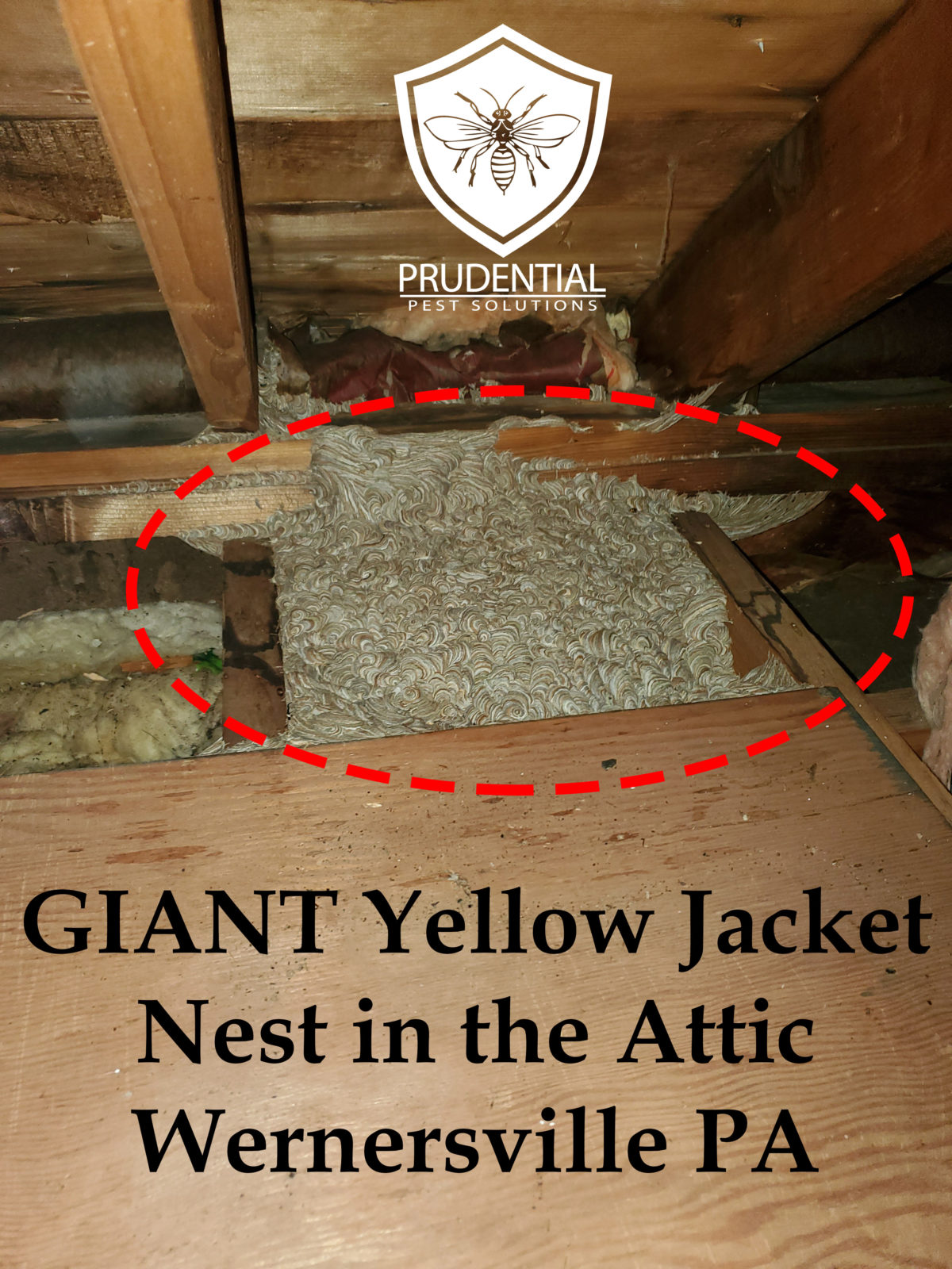 GIANT Yellow Jacket Nest in the Attic in Wernersville PA