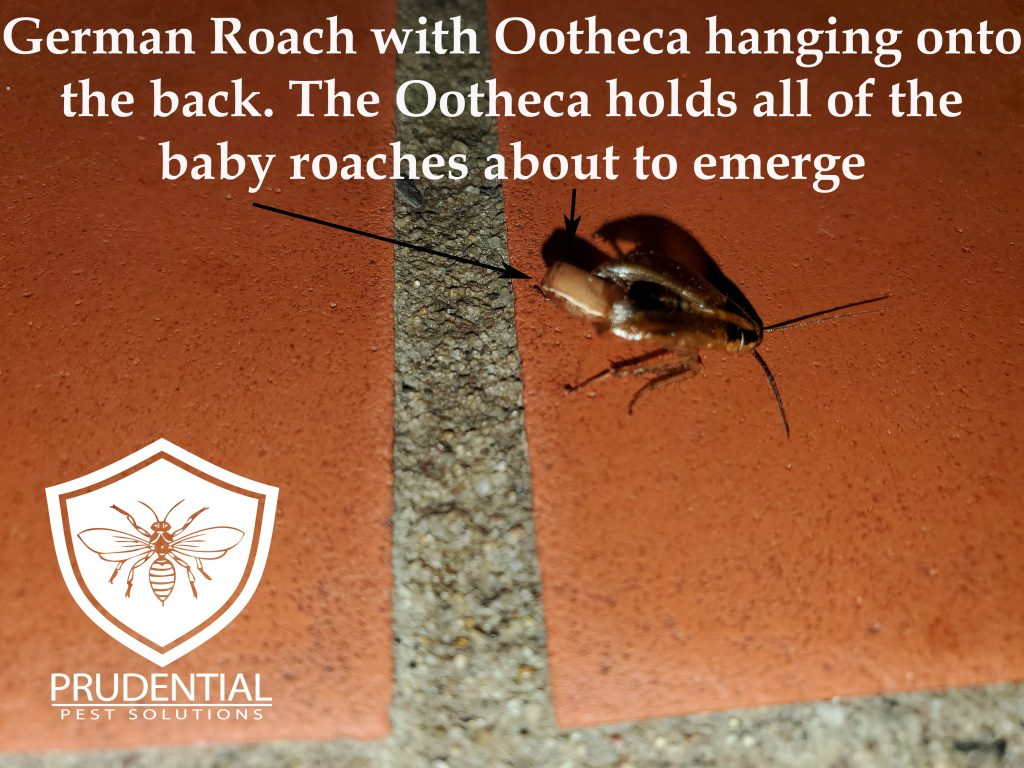 German Cockroach with Ootheca